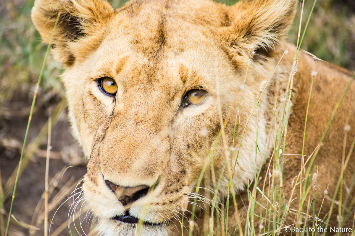 セレンゲティで爽快朝サファリ&ライオンのオス同士が遭遇するとどうなる? Tanzania Serengeti safari lion