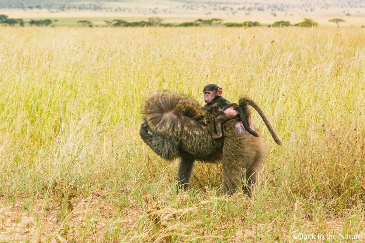 アフリカ・タンザニア・セレンゲティ国立公園でのサファリ Serengeti safari Tanzania Africa