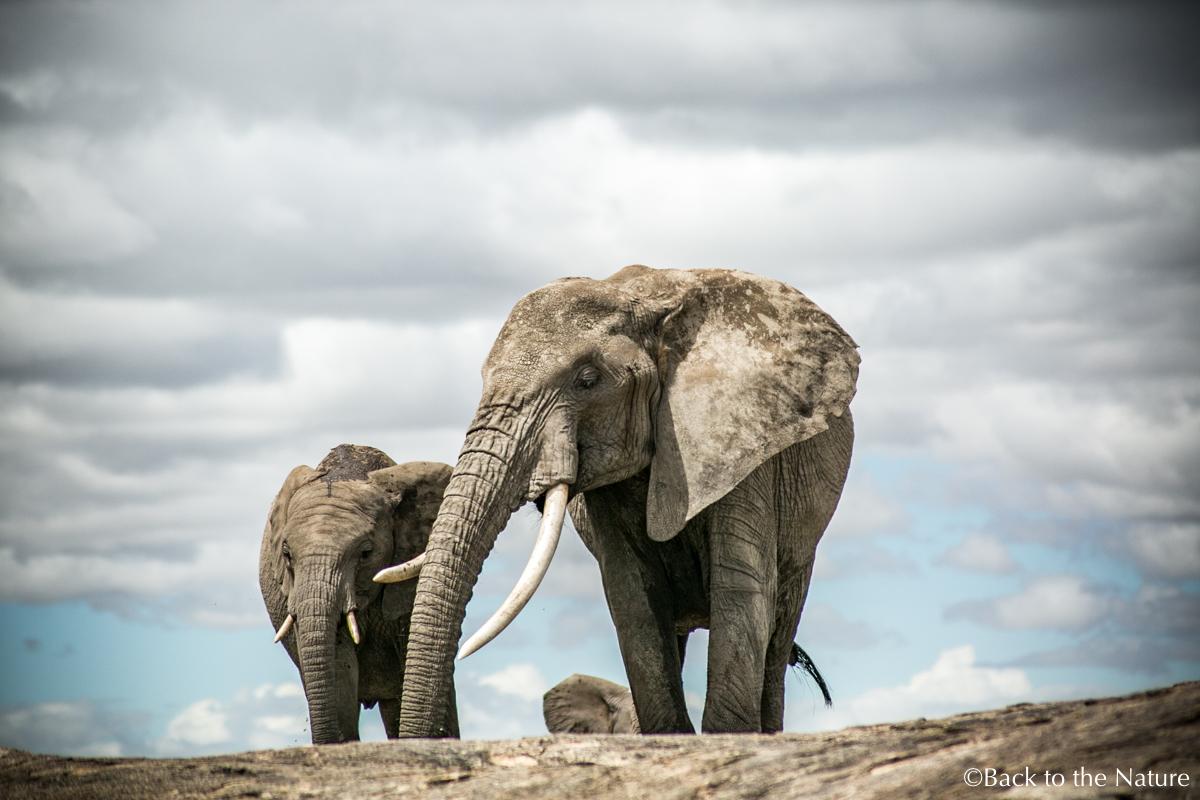 セレンゲティで爽快朝サファリ&ライオンのオス同士が遭遇するとどうなる?Africa Tanzania Serengeti safari elephant
