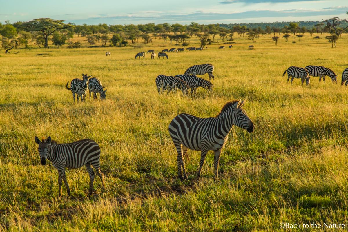 セレンゲティで爽快朝サファリ&ライオンのオス同士が遭遇するとどうなる? Tanzania Serengeti morning safari