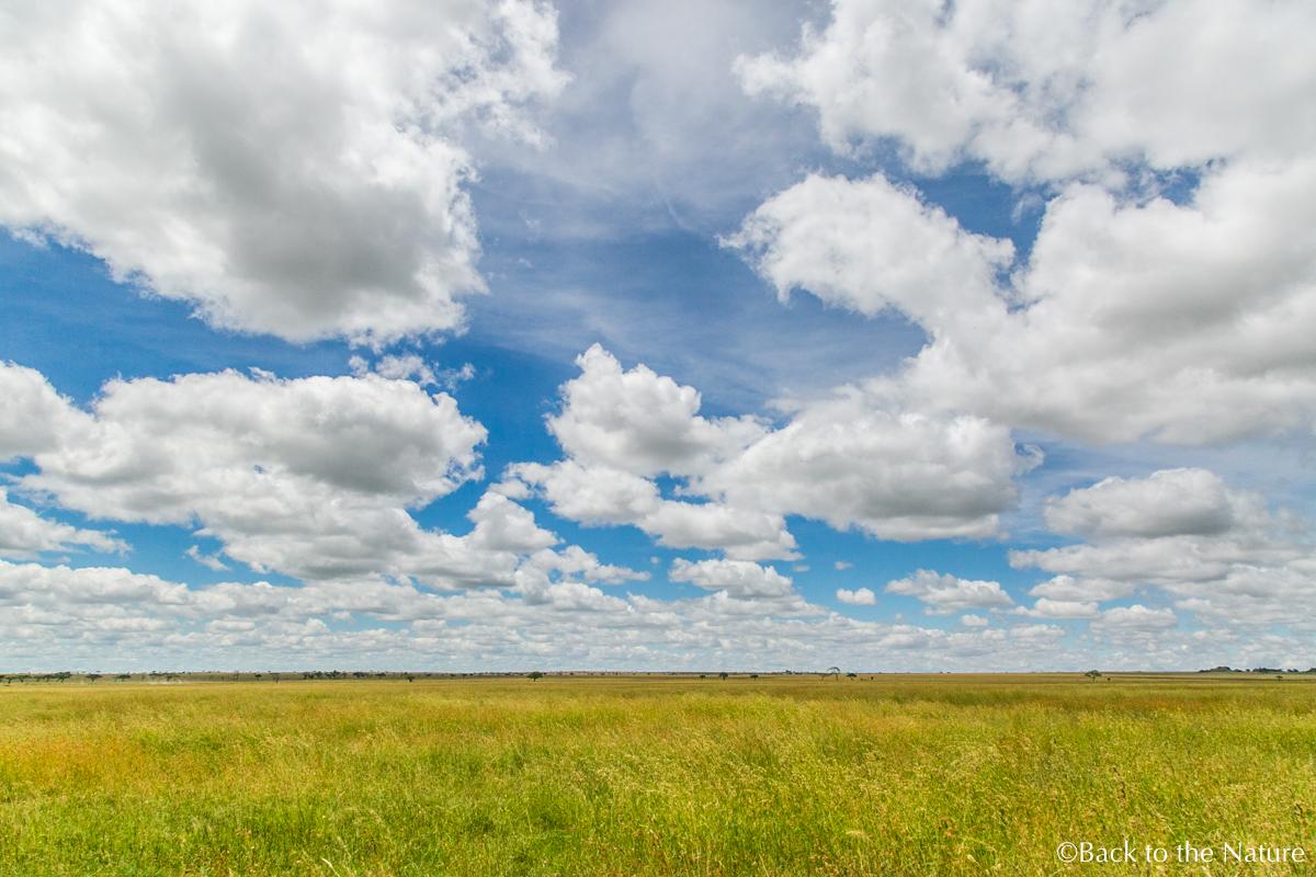セレンゲティで爽快朝サファリ&ライオンのオス同士が遭遇するとどうなる? Tanzania Serengeti safari
