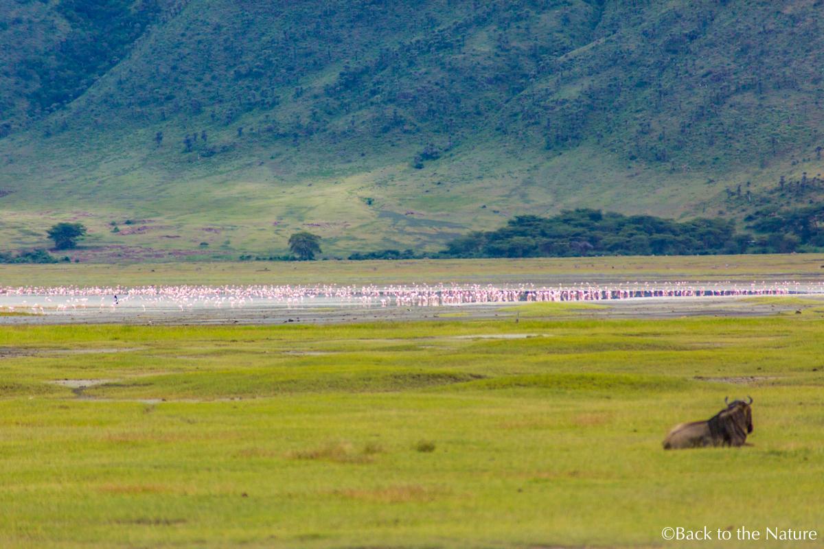 地球最後の楽園!タンザニア ンゴロンゴロ自然保護区で絶景サファリ Tanzania Ngorongoro Safari flamingos