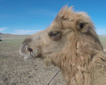 モンゴル大草原の旅 その②ゲル泊・砂漠・感動の夜空