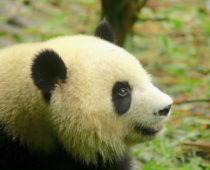 世界一周 × 動物「#3 成都パンダ基地」