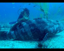 タオ島でダイビング免許!アドバンス最終日(巨大魚編)