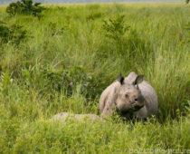 野生のサイサファリがたったの2000円!カジランガ国立公園
