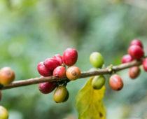ポカラ郊外にある日本人が作ったコーヒー農園「Shanti Shanti珈琲農園」へ