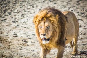 アフリカ・タンザニア・セレンゲティ国立公園でのサファリのライオンSerengeti safari Tanzania Africa lion