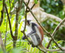 まるで人間?ザンジバル島にしかいない幻の猿の見た目が衝撃すぎ!!