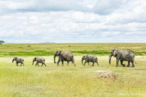 アフリカ・タンザニア・セレンゲティ国立公園でのサファリの象の群れ Elephants Serengeti safari Tanzania Africa